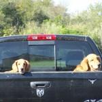 Pets in Truck