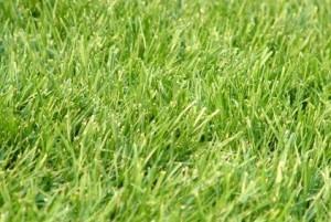 winter-rye-grass-300x201
