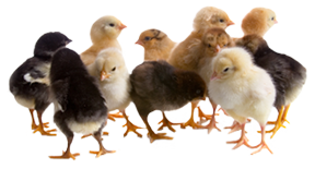 Fall baby chicks at New Braunfels Feed & Supply