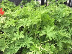 citronella plants