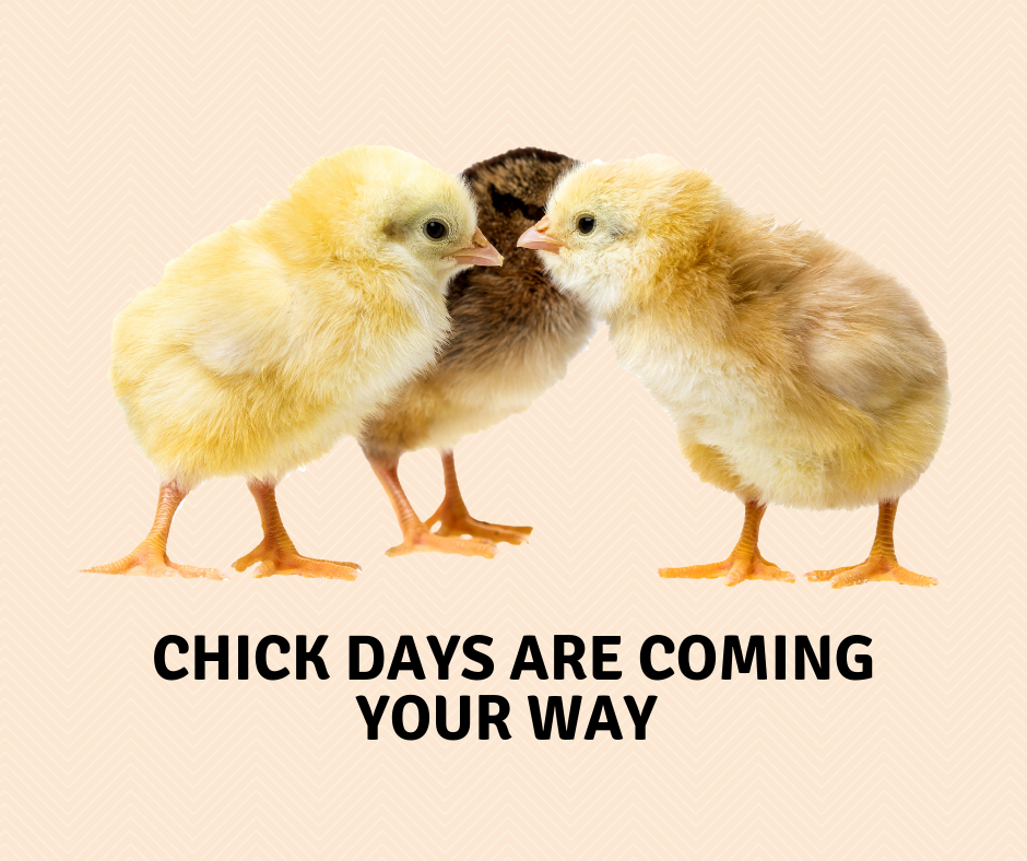Baby Chicks Arrive this Fall 2019