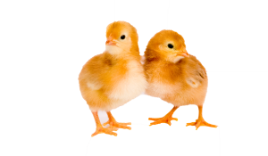 Two yellow chicks next to each other, promoting fall chicks schedule