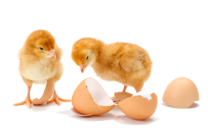 two newly hatched chicks next to eggs - special chick delivery